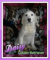 Daisy: Female AKC Golden Retriever Cream (Full Price $1200.00) Deposit