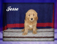 Jesse: Male Goldendoodle (Full Price $700.00) Deposit