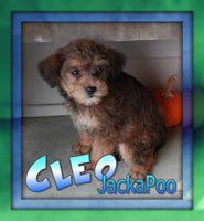 Cleo: Male Jackapoo (Full Price $550.00) Deposit