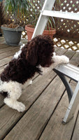 CKC Labradoodle for sale near me