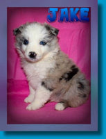 Jake Male Miniature Australian Shepherd $599