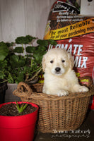 Jordan: Male AKC Golden Retriever (Full Price $650.00) Deposit