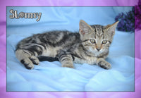 Stormy Female Short Hair Kitten $150