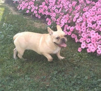 Lily Female AKC French Bulldog $2100