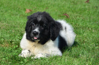 Katie Female AKC Newfoundland (Full Price 799.00) Deposit