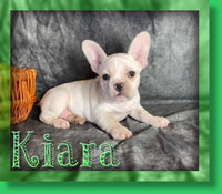 Kiara Female AKC French Bulldog $2500