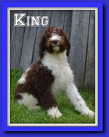 King Male F1B Labradoodle $550