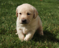 Dolly Female AKC Labrador Retriever $1195