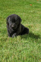 Dumor Male AKC Labrador Retriever $1195