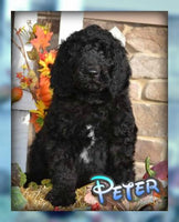 Peter Male Labradoodle F1b  (Full Price $550.00) Deposit