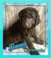 Jimmy Male F1b Labradoodle (Full Price $699.00) Deposit