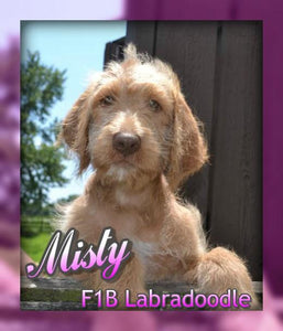 Misty: female F1B Labradoodle (Full Price $650) Deposit - Pups for sale in Ohio