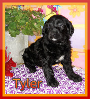 Tyler Male FB Labradoodle $1400