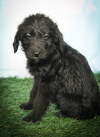 Max Male Labradoodle $1700