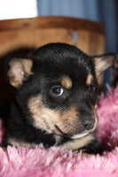 Lady: Female Husky-Rat Terrier (Full Price $350.00) Deposit
