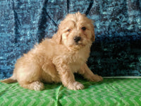 Landry Male Mini Goldendoodle $1100