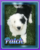 Patch: Male Sheepadoodle (Full Price $1499.00) Deposit