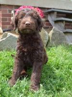 Labradoodle puppies for sale in Ohio
