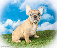 Frenchton puppies for sale near me