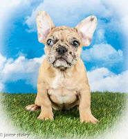 Frenchton puppies for sale near me akron canton cleveland columbus