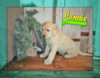 Lonnie: Male Labradoodle (Full Price $595.00) Deposit