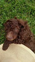 Labradoodle for sale near me