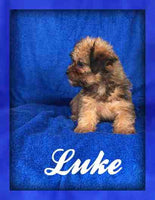 Luke: Male Yorkie-Schnoodle (Full Price $650) Deposit