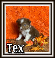 Tex Male Australian Shepherd $1500