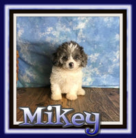 Mikey Male Shihpoo $1800