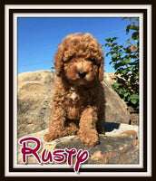 Rusty Male Cavapoo $3500