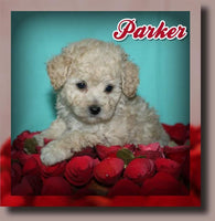 Parker Male Toy Poodle $795