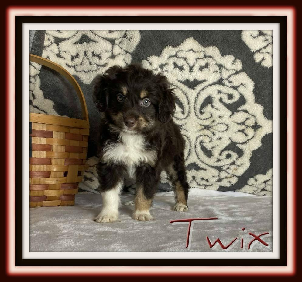 male mini aussiepoo for sale near me