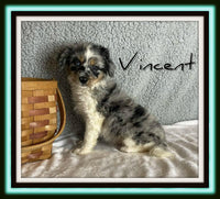 Vincent Male Mini Aussiepoo $2500