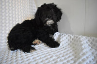Shadow Male Mini Labradoodle $1600