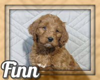 Finn Male Mini Irishdoodle $1095