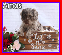Amos Male Mini Labradoodle $2000