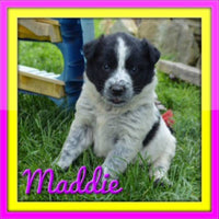 Maddie Female Heeler Mix $350
