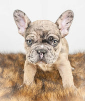 Male French Bulldog puppy for sale