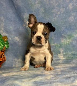 male frenchton for sale