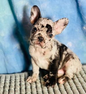 Merle Male Frenchton puppy for sale
