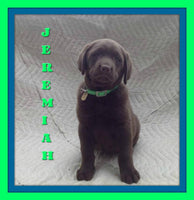 Jeremiah Male Chocolate AKC Labrador Retriever $700