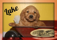 Luke Male Mini Labradoodle $900