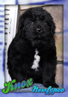 Knox: Male Newfypoo (Full Price $1299.00) Deposit