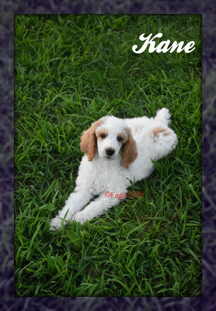 Standard Poodle puppy for sale in Ohio