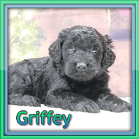 Griffey Male F1 Mini Goldendoodle $3000