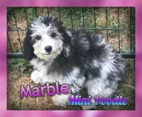 Marble: Female Mini Poodle (Full Pricce $1800.00) Deposit