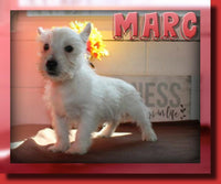 Marc Male West Highland Terrier $450