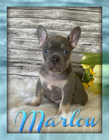 Marlow AKC Male French Bulldog $4000