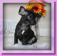 Marsha AKC Female French Bulldog $1500