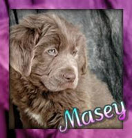 Masey: Female Newfoundland Mix (Full Price $850) Deposit